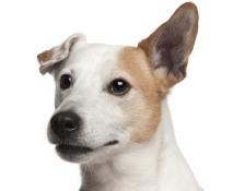 Aggressiver Hunde
